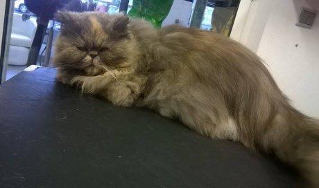 Brossage de poils de chat Lorient